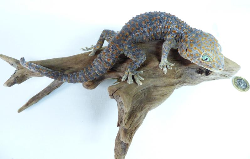 Adrian Johnstone, professional Taxidermist since 1981. Supplier to private collectors, schools, museums, businesses, and the entertainment world. Taxidermy is highly collectable. Taxidermy stuffed Tokay Gecko (24), in excellent condition.