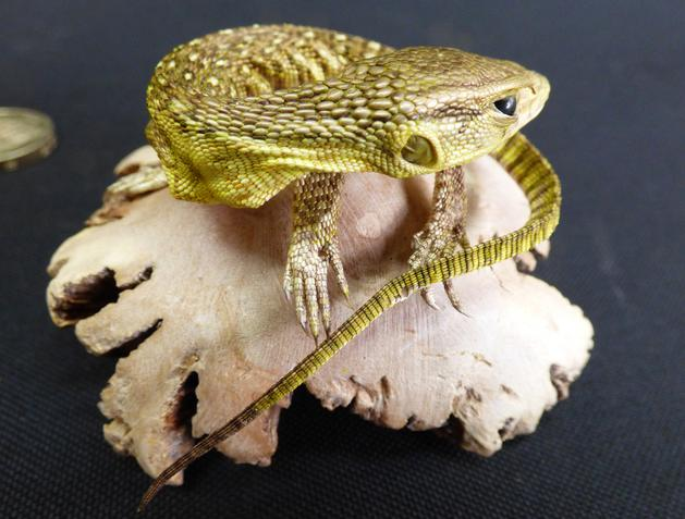 Adrian Johnstone, Professional Taxidermist since 1981. Supplier to private collectors, schools, museums, businesses and the entertainment world. Taxidermy is highly collectable. A taxidermy stuffed Lizard (50), in excellent condition.