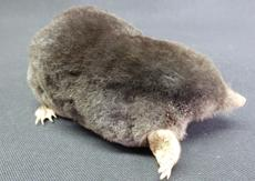 Adrian Johnstone, professional Taxidermist since 1981. Supplier to private collectors, schools, museums, businesses, and the entertainment world. Taxidermy is highly collectable. A taxidermy stuffed Mole (137), in excellent condition.