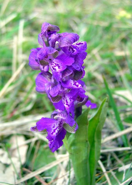 Green-winged-orchid-in-France