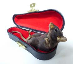 Adrian Johnstone, professional Taxidermist since 1981. Supplier to private collectors, schools, museums, businesses, and the entertainment world. Taxidermy is highly collectable. A taxidermy stuffed Mouse In Violin Case (54), in excellent condition. Mobile: 07745 399515 Email: adrianjohnstone@btinternet.com