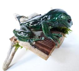 Adrian Johnstone, professional Taxidermist since 1981. Supplier to private collectors, schools, museums, businesses, and the entertainment world. Taxidermy is highly collectable. A taxidermy stuffed adult Green Frog (45), in excellent condition.