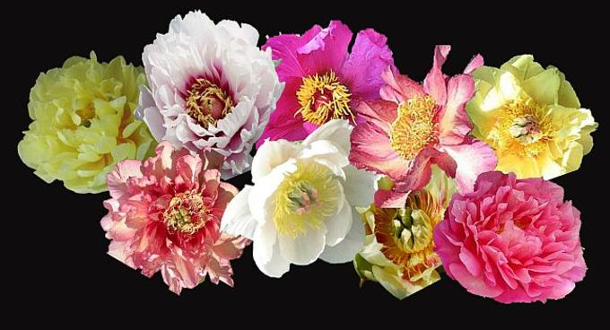Itoh Peonies Collection at Peony Farm