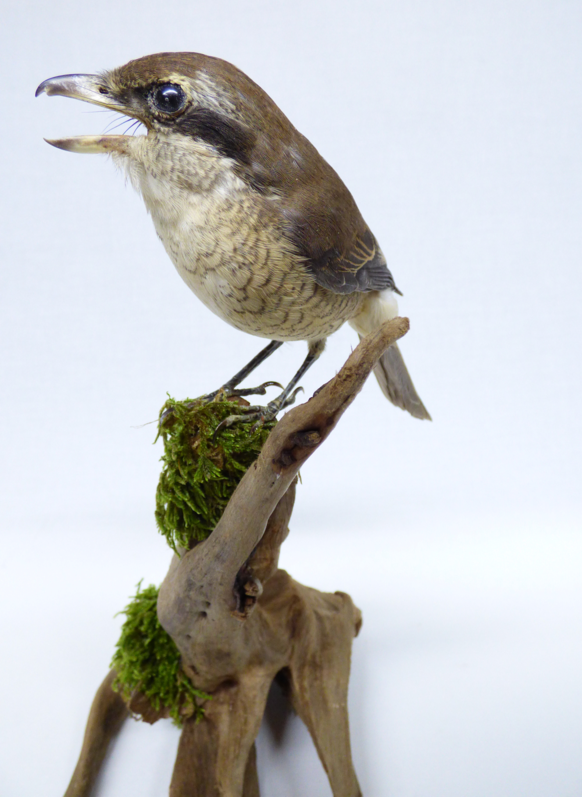 Adrian Johnstone, professional Taxidermist since 1981. Supplier to private collectors, schools, museums, businesses, and the entertainment world. Taxidermy is highly collectable. A taxidermy stuffed Brown Shrike (453fb), in excellent condition.