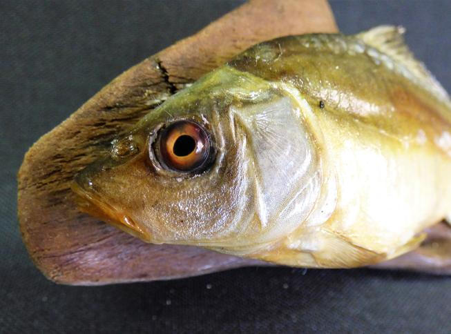 Adrian Johnstone, professional Taxidermist since 1981. Supplier to private collectors, schools, museums, businesses, and the entertainment world. Taxidermy is highly collectable. A taxidermy stuffed Mirror Carp (9), in excellent condition.