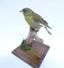 Adrian Johnstone, professional Taxidermist since 1981. Supplier to private collectors, schools, museums, businesses, and the entertainment world. Taxidermy is highly collectable. A taxidermy stuffed Greenfinch (9634), in excellent condition. Mobile: 07745 399515 Email: adrianjohnstone@btinternet.com