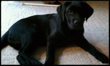 English Black Lab Puppy