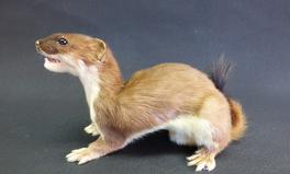 Adrian Johnstone, Professional Taxidermist since 1981. Supplier to private collectors, schools, museums, businesses and the entertainment world. Taxidermy is highly collectable. A taxidermy stuffed Stoat (25), in excellent condition.