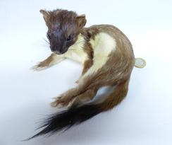 Adrian Johnstone, professional Taxidermist since 1981. Supplier to private collectors, schools, museums, businesses, and the entertainment world. Taxidermy is highly collectable. A taxidermy stuffed Stoat (19), in excellent condition.