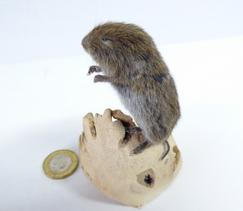 Adrian Johnstone, professional Taxidermist since 1981. Supplier to private collectors, schools, museums, businesses, and the entertainment world. Taxidermy is highly collectable. A taxidermy stuffed Short Tailed Field Vole (18), in excellent condition.