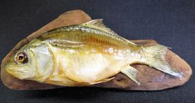 Adrian Johnstone, professional Taxidermist since 1981. Supplier to private collectors, schools, museums, businesses, and the entertainment world. Taxidermy is highly collectable. A taxidermy stuffed young Mirror Carp (9), in excellent condition.