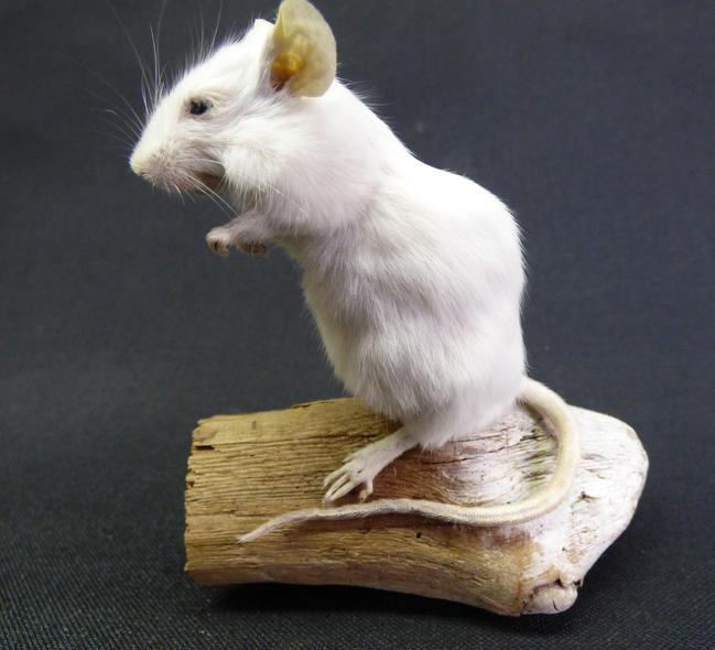 Adrian Johnstone, Professional Taxidermist since 1981. Supplier to private collectors, schools, museums, businesses and the entertainment world. Taxidermy is highly collectable. A taxidermy stuffed adult White Mouse (60) in excellent condition.