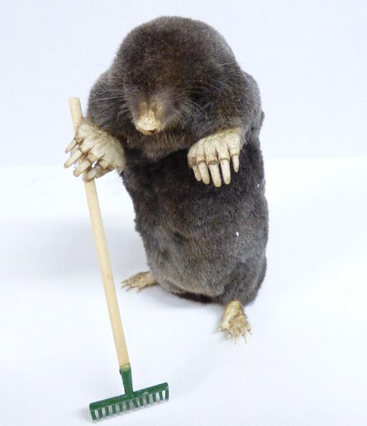 Adrian Johnstone, professional Taxidermist since 1981. Supplier to private collectors, schools, museums, businesses, and the entertainment world. Taxidermy is highly collectible. A taxidermy stuffed Gardening Mole (13) in excellent condition.