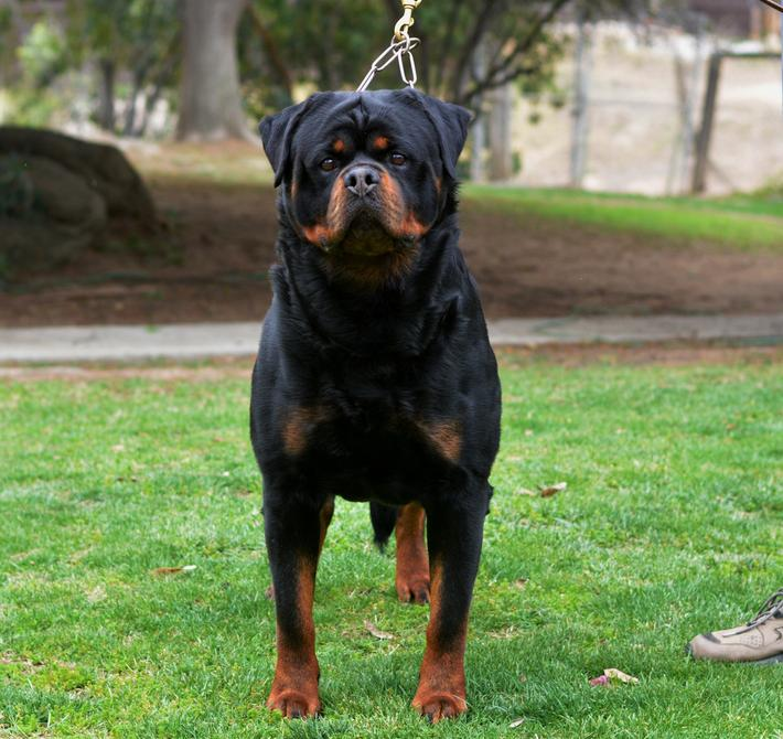 Rottweiler Dog House For Sale