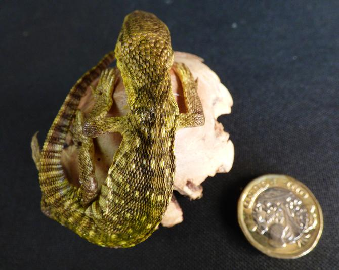 Adrian Johnstone, Professional Taxidermist since 1981. Supplier to private collectors, schools, museums, businesses and the entertainment world. Taxidermy is highly collectable. A taxidermy stuffed Lizard (17), in excellent condition.