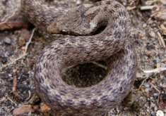 Snakes-in-France-Southern-smooth-snake