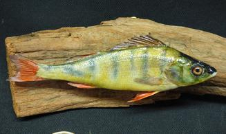 Adrian Johnstone, professional Taxidermist since 1981. Supplier to private collectors, schools, museums, businesses, and the entertainment world. Taxidermy is highly collectible. A taxidermy stuffed young Perch (12), in excellent condition.