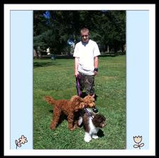 3 labradoodle puppies with Grandkid - 2 red and one parti white and brown markings