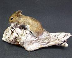Adrian Johnstone, Professional Taxidermist since 1981. Supplier to private collectors, schools, museums, businesses and the entertainment world. Taxidermy is highly collectable. A taxidermy stuffed Field Mouse (132), in excellent condition.