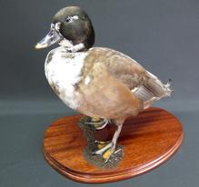 Adrian Johnstone, professional Taxidermist since 1981. Supplier to private collectors, schools, museums, businesses, and the entertainment world. Taxidermy is highly collectable. A taxidermy stuffed drake Domestic Duck (9327), in excellent condition.