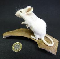 Adrian Johnstone, professional Taxidermist since 1981. Supplier to private collectors, schools, museums, businesses, and the entertainment world. Taxidermy is highly collectable. A taxidermy stuffed White Mouse (49), in excellent condition.