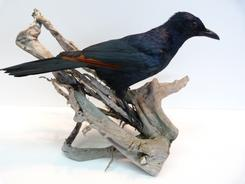 Adrian Johnstone, professional Taxidermist since 1981. Supplier to private collectors, schools, museums, businesses, and the entertainment world. Taxidermy is highly collectable. A taxidermy stuffed male Red Winged Starling, in excellent condition.