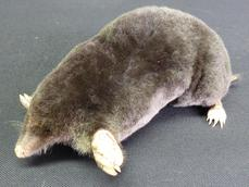 Adrian Johnstone, professional Taxidermist since 1981. Supplier to private collectors, schools, museums, businesses, and the entertainment world. Taxidermy is highly collectable. A taxidermy stuffed adult Mole (74), in excellent condition.