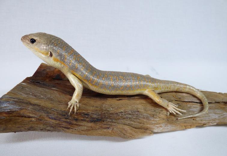 Adrian Johnstone, Professional Taxidermist since 1981. Supplier to private collectors, schools, museums, businesses and the entertainment world. Taxidermy is highly collectible. A taxidermy stuffed Skink (23), in excellent condition.