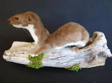 Adrian Johnstone, professional Taxidermist since 1981. Supplier to private collectors, schools, museums, businesses, and the entertainment world. Taxidermy is highly collectable. A taxidermy stuffed Weasel (11), in excellent condition.