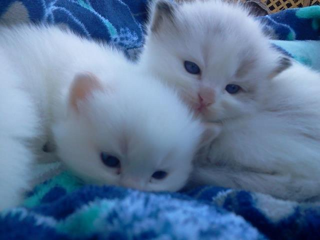Ragdoll Ridge - ragdoll kittens for sale, ragdoll cats, ragdoll cats