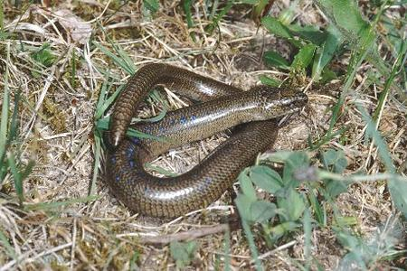 Slow-worm-lizard-is-not-a snake-in-the-grass-France