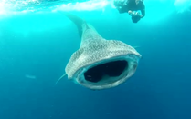whale sharks cancun and isla mujeres