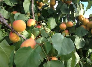 abundant apricot crop healed with agnihotra Vedic healing fire ceremony.
