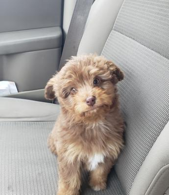 mini aussiedoodle puppy northwestaussiedoodles.com