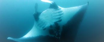 manta ray national geograpic Brazil Csilla Ari