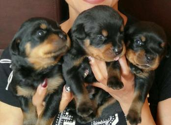 German European Rottweiler Puppies For Sale Vom Wilbers