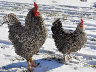 Plymouth Barred Rock chicken for sale at Chickenfeathers, Shotts