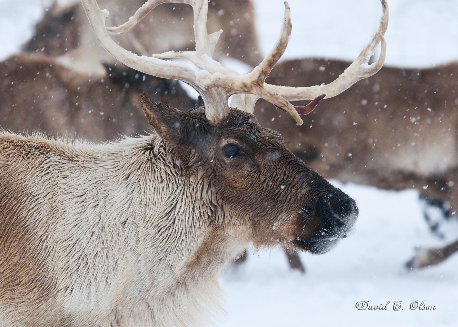 Live Reindeer