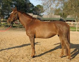 Taproot foundation broodmare by Voltaire KWPN