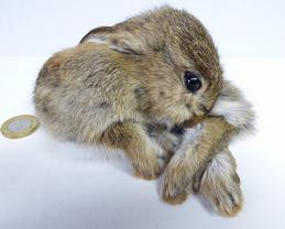Adrian Johnstone, professional Taxidermist since 1981. Supplier to private collectors, schools, museums, businesses, and the entertainment world. Taxidermy is highly collectible. A taxidermy stuffed Baby Rabbit (90), in excellent condition.
