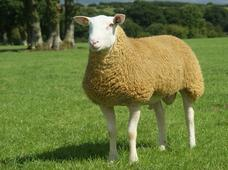 The British Berrichon Sheep Society - About Us