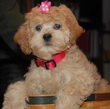 Florida Cockapoos - Breed And Sell Cockapoo Puppies, Breed