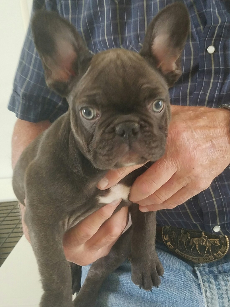 French Bulldog Puppies Available For Sale