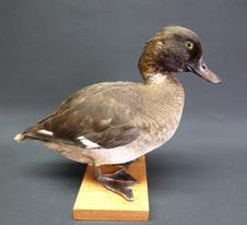 Adrian Johnstone, professional Taxidermist since 1981. Supplier to private collectors, schools, museums, businesses, and the entertainment world. Taxidermy is highly collectable. A taxidermy stuffed Tufted Duck (9510), in excellent condition.