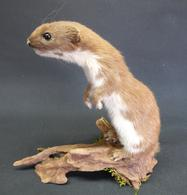 Adrian Johnstone, professional Taxidermist since 1981. Supplier to private collectors, schools, museums, businesses, and the entertainment world. Taxidermy is highly collectible. A taxidermy stuffed Weasel (109), in excellent condition.