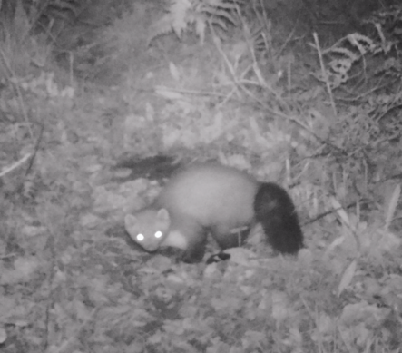 Fouine-or-Stone-Marten-France
