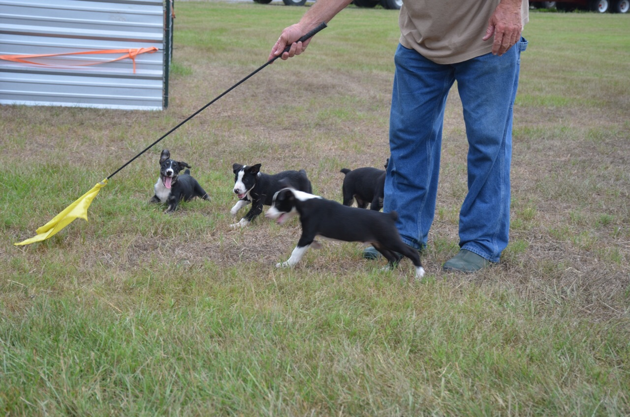 Hanging tree cow dogs for sale - Call Us At 225 413 0449 To Reserve Yours Today