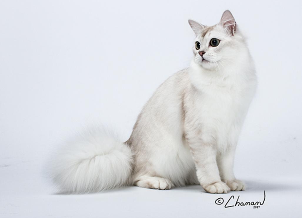 Kasanovakatz Burmillas - Kittens, Cats, Kittens For Adoption