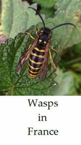Wasps-in-France