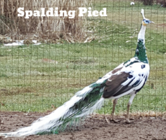 Leggs Peafowl Farm - Peacocks For Sale, Peafowl For Sale